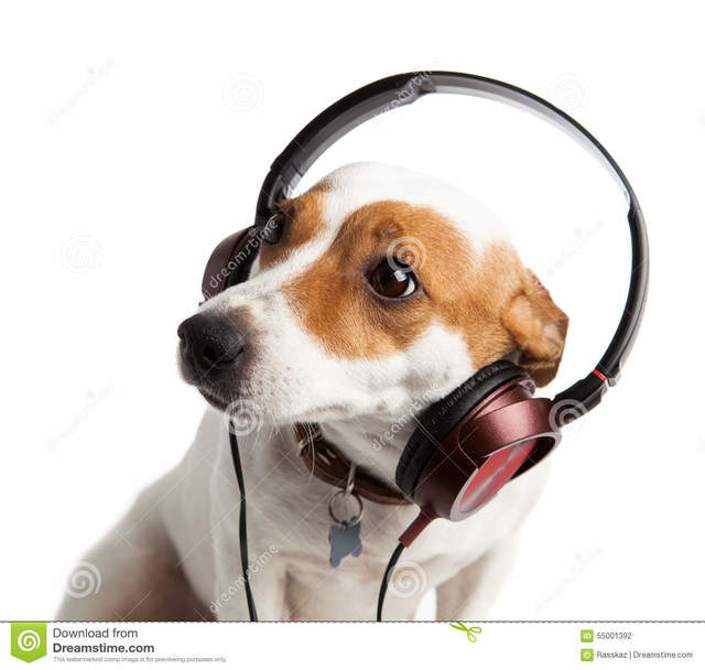 terrier-wearing-headphones-collar-jack-russell-dog-55001392.jpg